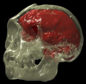 The skull and endocast of Hobbit, courtesy of Kirk Smith, Mallinckrodt Institute of Radiology.